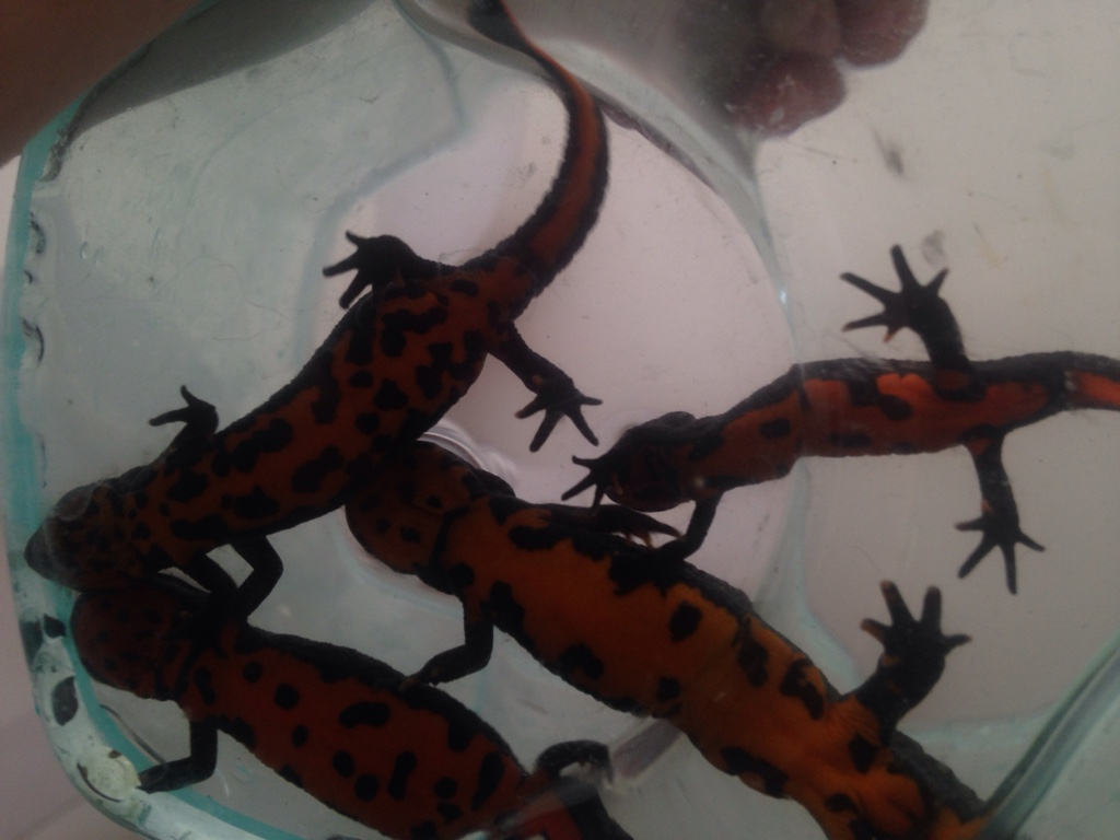 Fire Belly Newt Eggs -...