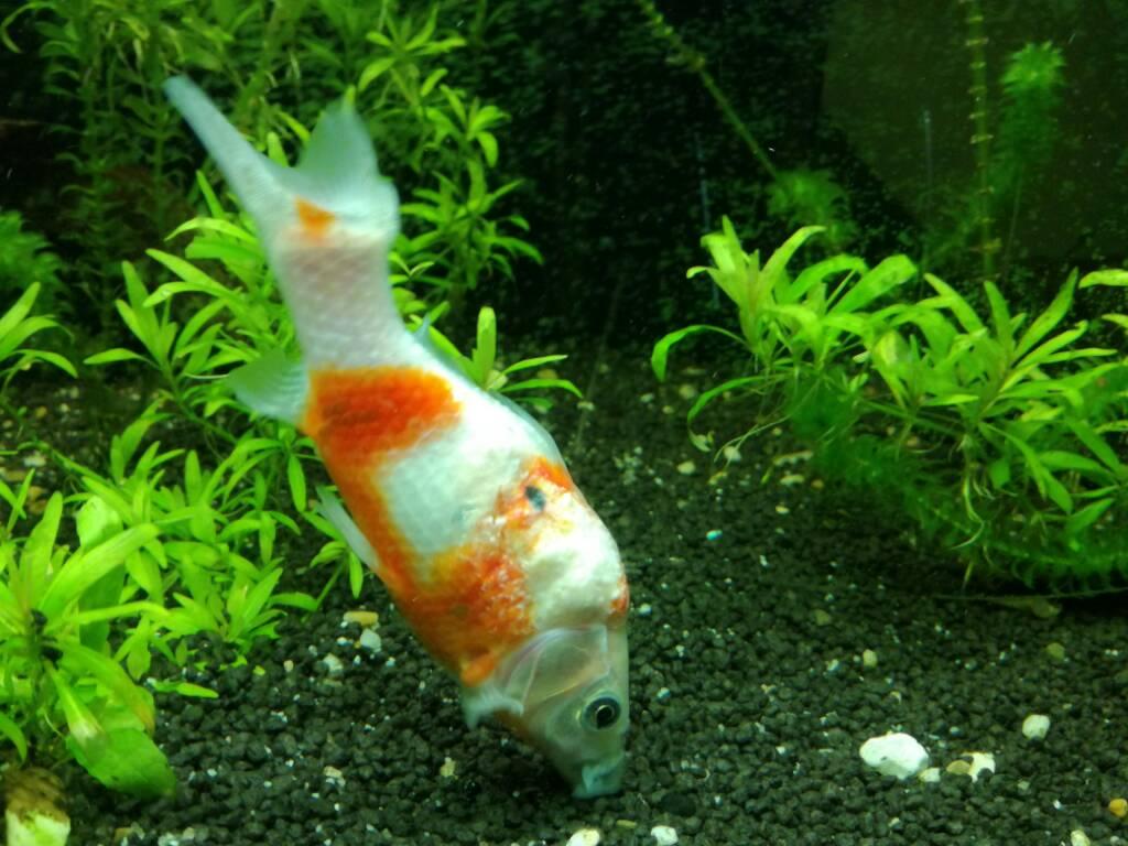 Pesce rosso con tumore acquaportal forum acquario for Quanto vive un pesce rosso