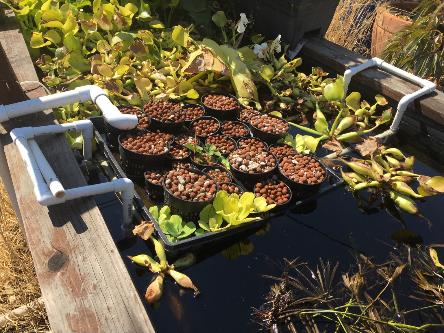 Backyard aquaponics view topic hello started out as for Koi pond aquaponics