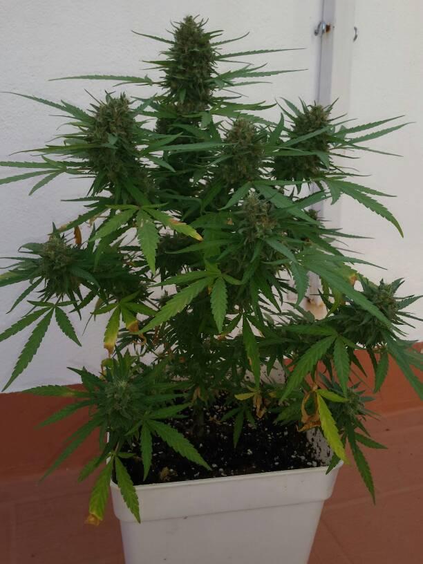 magnum en floracion   la marihuana