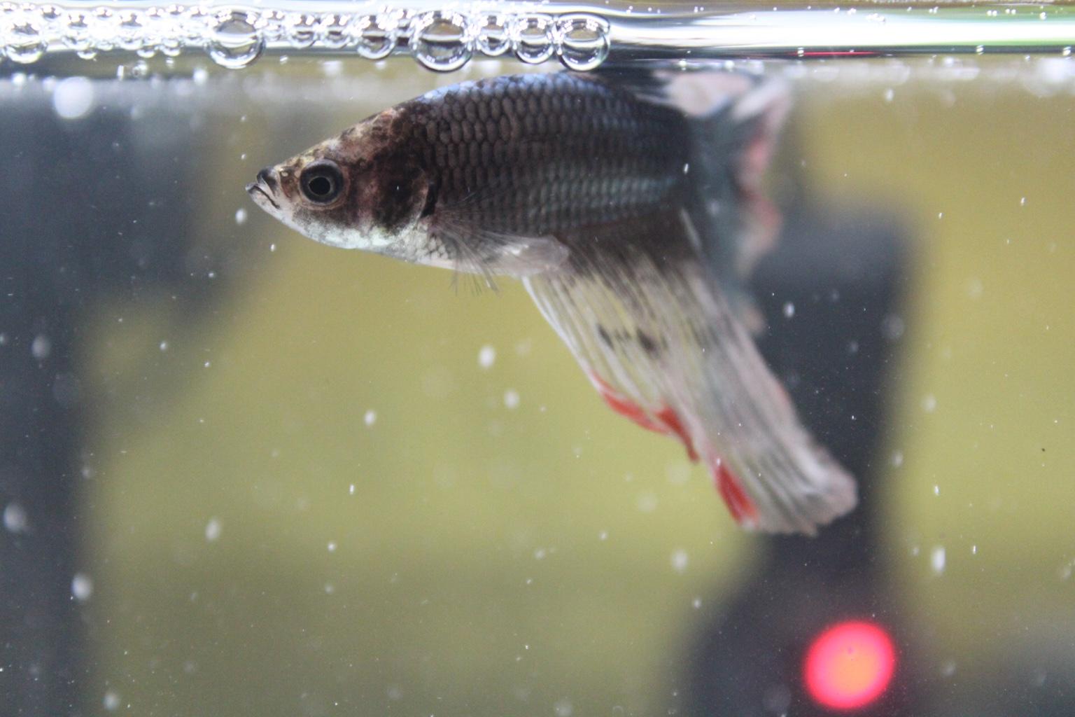 Funny wanna name my betta 259880 for Good betta fish names