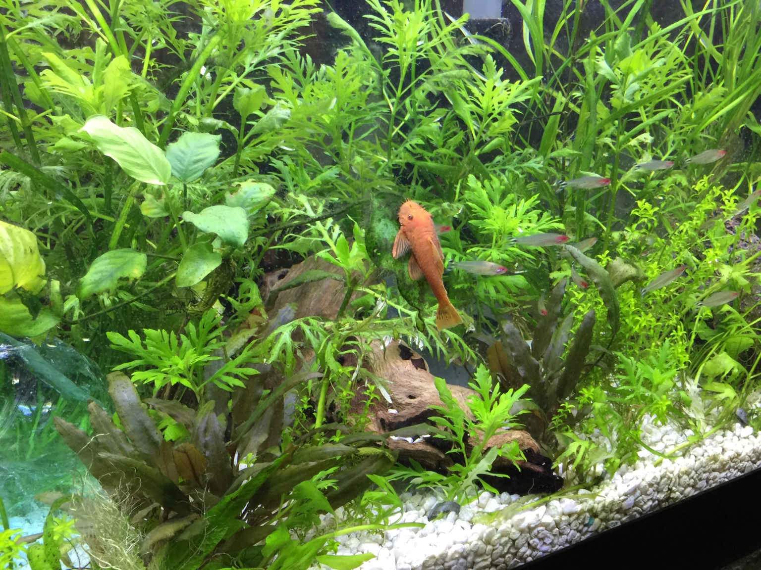 Freshwater aquarium fish are dying - Aquaphobia Fishlore Legend Member