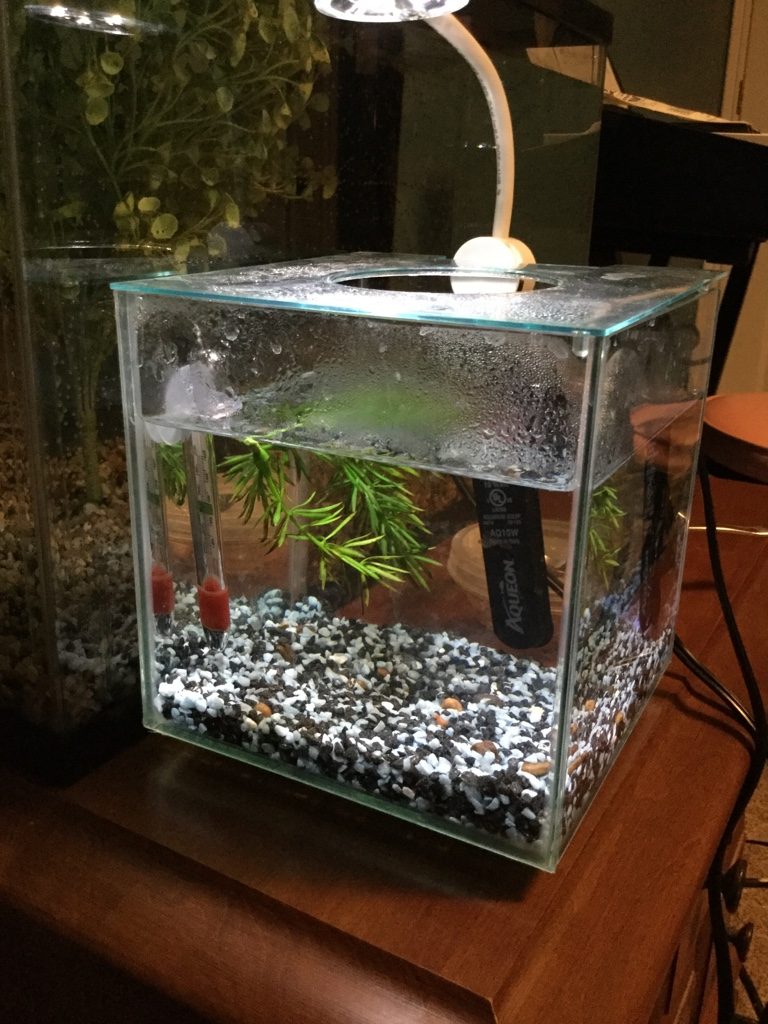 Can platy fry live temporarily in 1 gallon tank help 260824 for 10 gallon fish tank heater