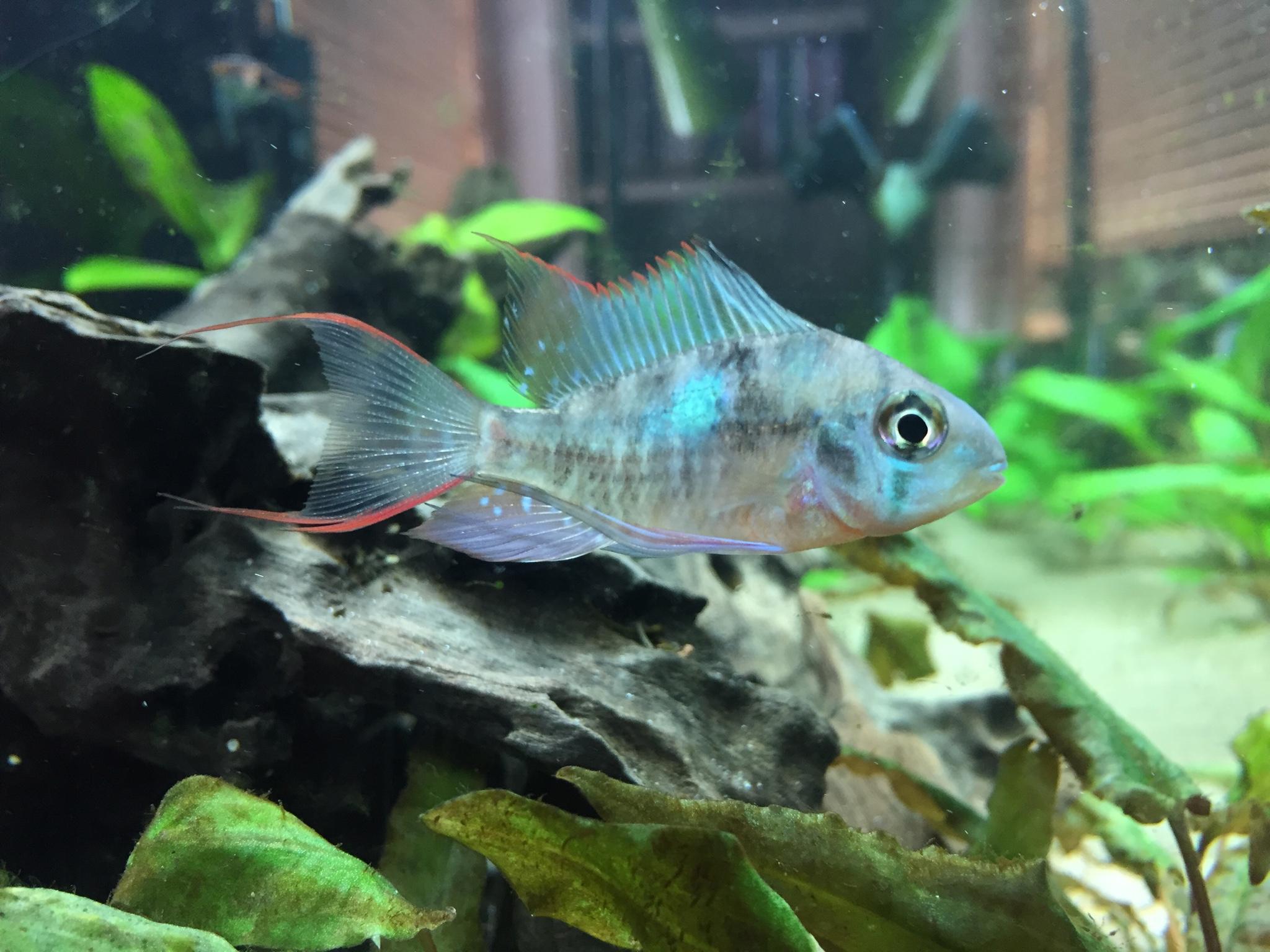 Freshwater aquarium fish internal parasites - Female Hopefully Ram With Her Worm