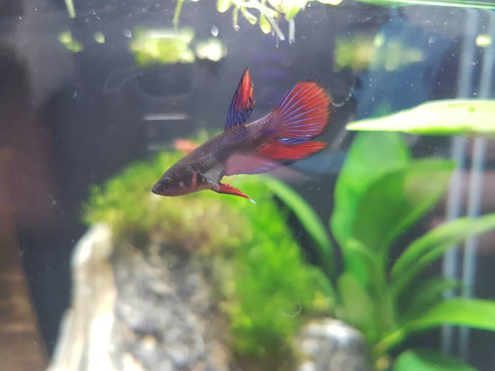 Expects needed for question is baby bruce a male or for Baby betta fish care