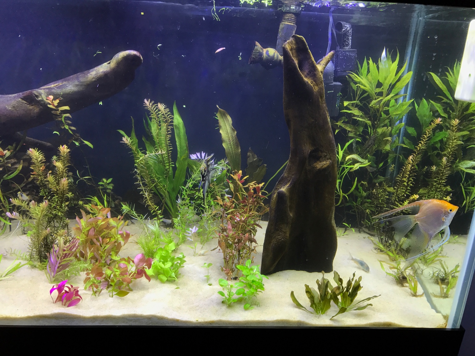 Freshwater aquarium fish high ph -  Img