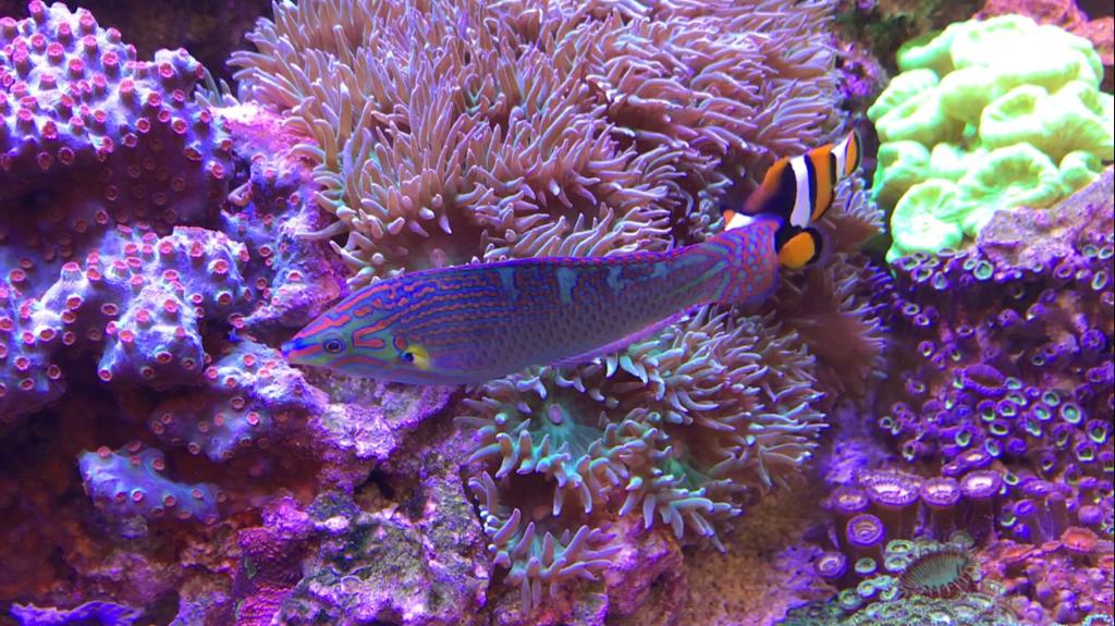 melanurus wrasse - Reef Central Online Community