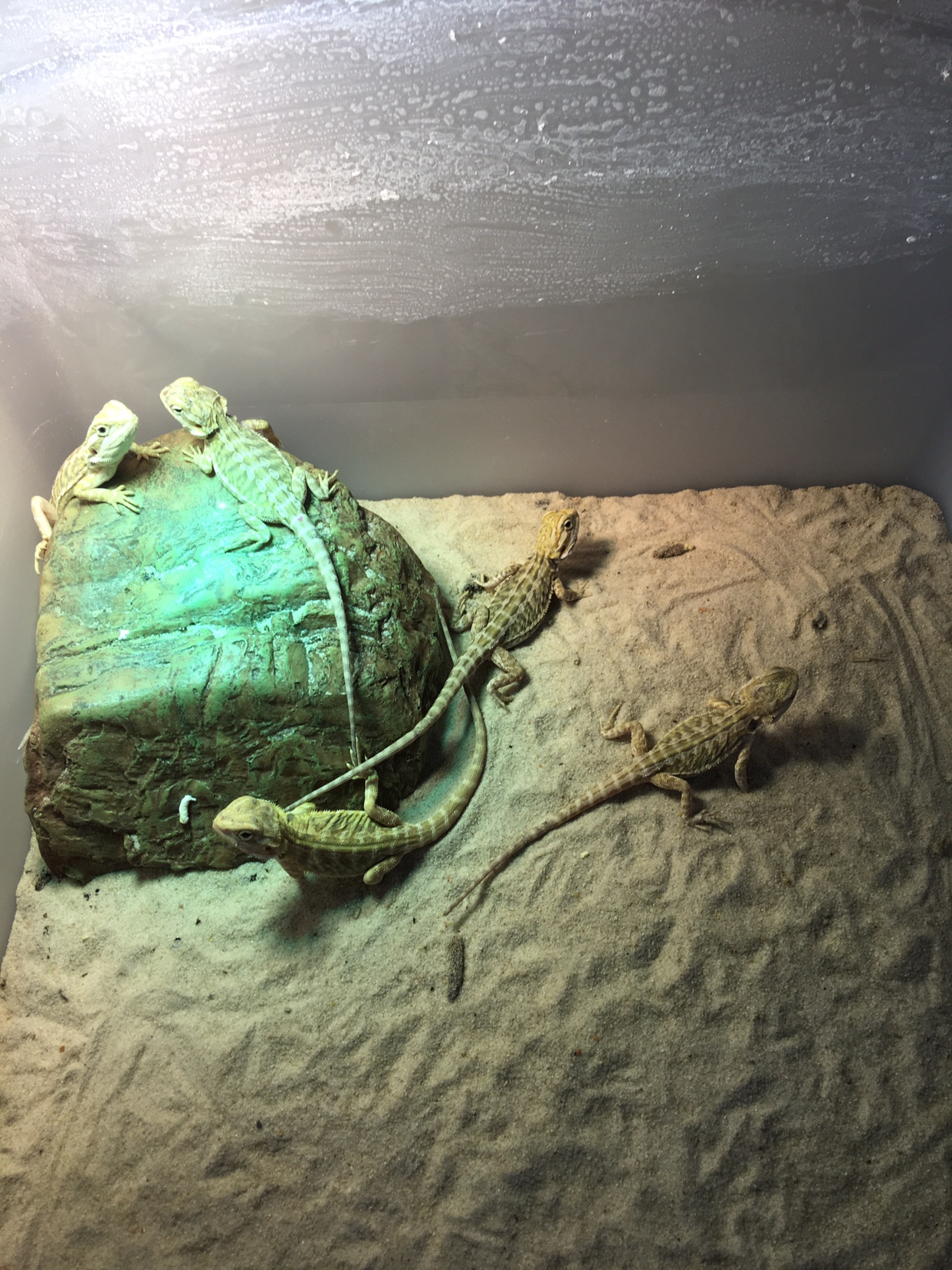 NSW FOR SALE: Central bearded dragon babies!
