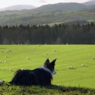 sheepdog149 Avatar