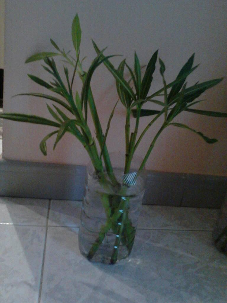 Fare Talee Di Oleandro oleandro ancora senza radici! | forum di giardinaggio.it