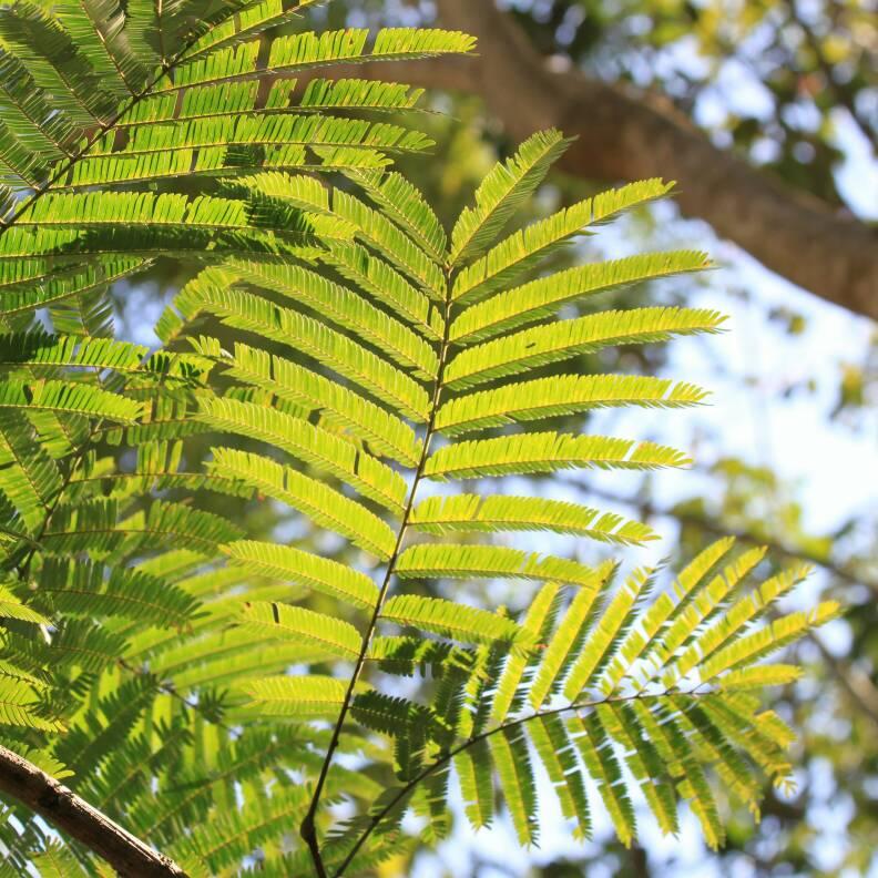 Was Ist Das Für Ein Baum baum mit riesenschoten pflanzenbestimmung