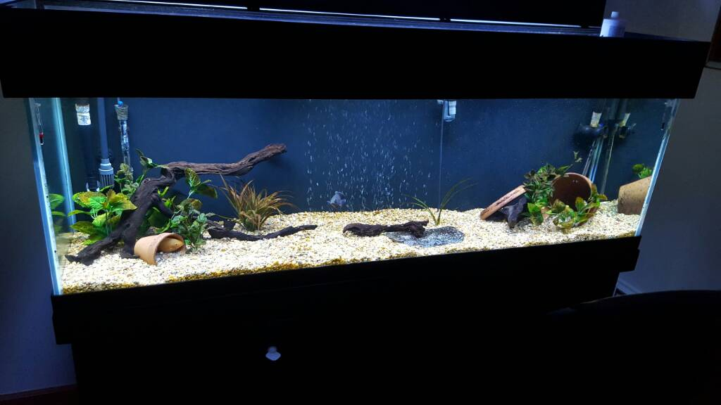 125 Gallon Planted Aquarium likewise Fluval Tanks For Bettas Chi Or Spec 261357 additionally Tiger Oscar 5cm as well 306913 New Oscar Tank 75 Gallon Questions Regarding Set Up further GloFish Sunburst Orange Tetra. on oscar fish filtration