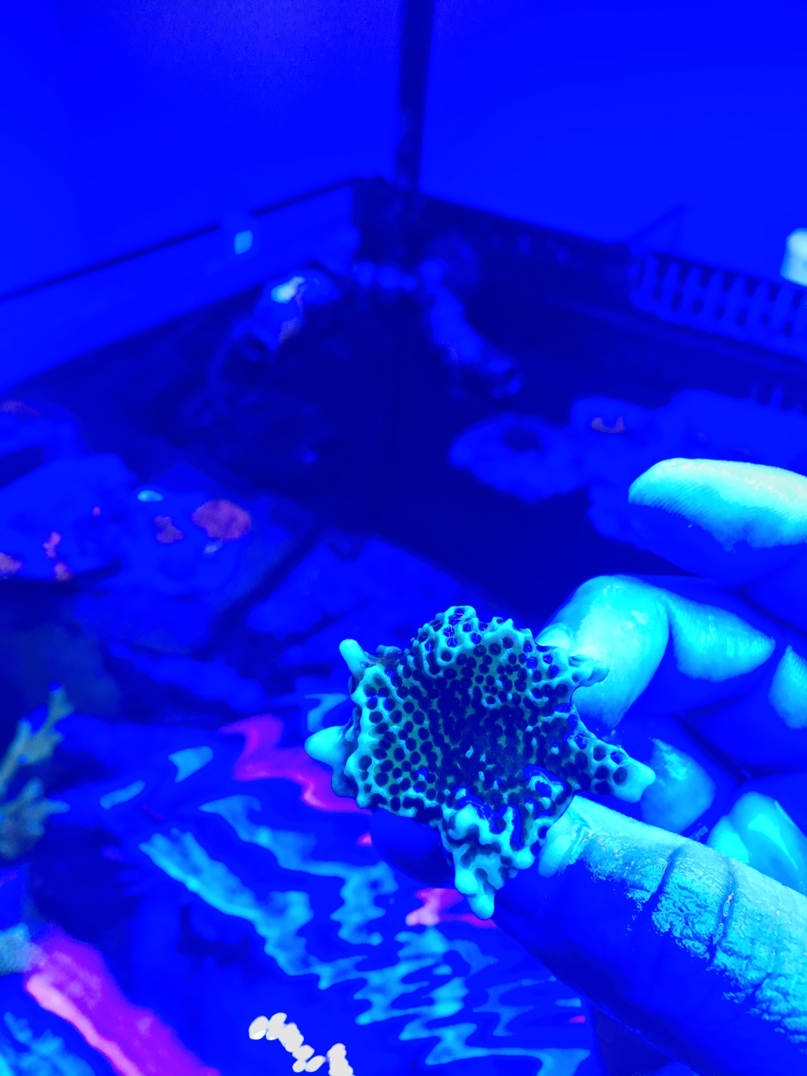 Monti confusa frags - Manhattan Reefs