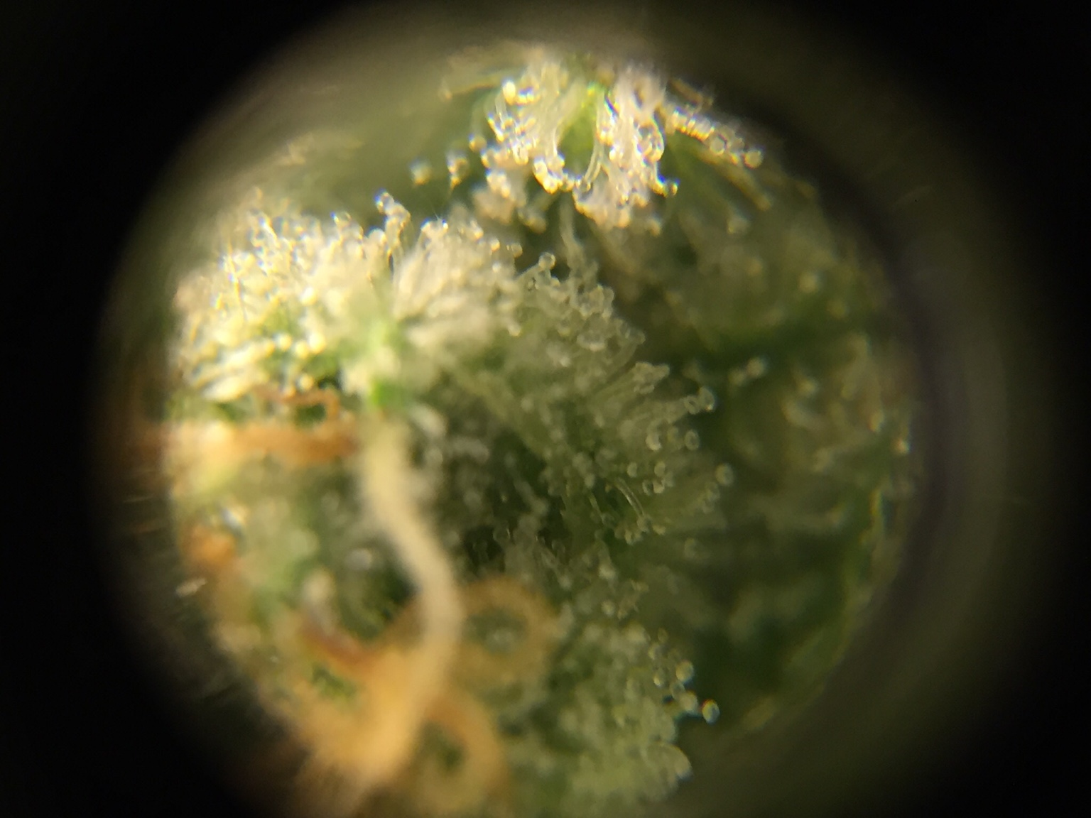 Indoor Bodhi Seeds | Page 16 | Grasscity Forums - The #1