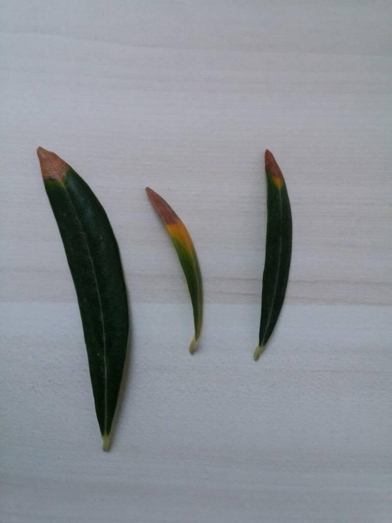 Olives Brown Leaf Tips Ausbonsai