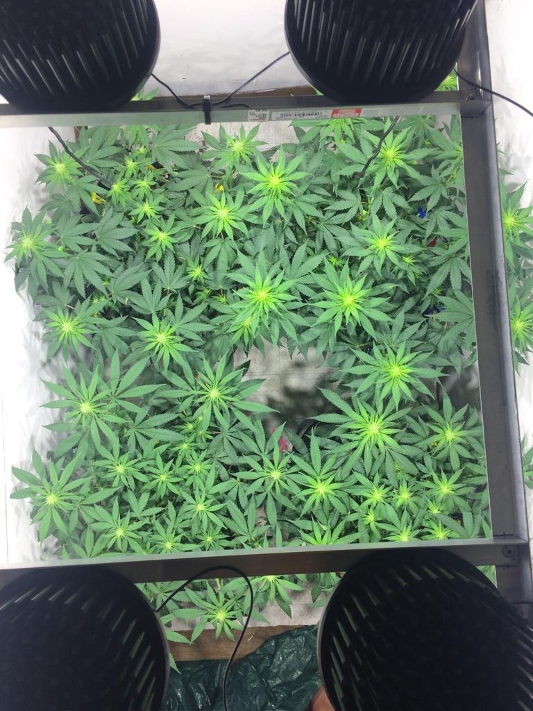 Diy Led Grow Lights Grasscity Forums The 1 Marijuana