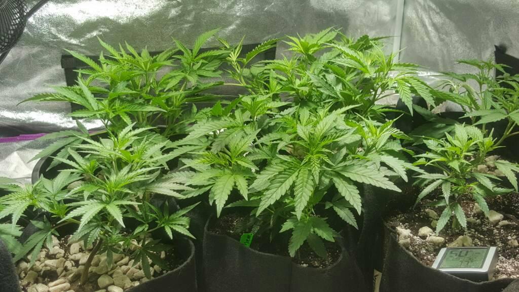 //forum.grasscity.com/index.php?threads/1424515/ 600 watt multiple strain 4x4 tent grow. & 4x4 tent 1200watt MH/HPS combo 6 plant multi strain flower grow ...