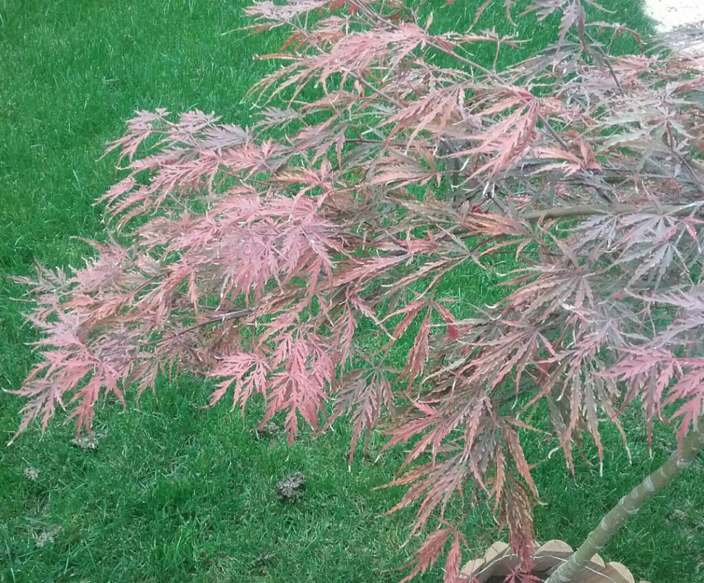 Acero Giapponese Verde acero giapponese.. primo inverno | forum di giardinaggio.it