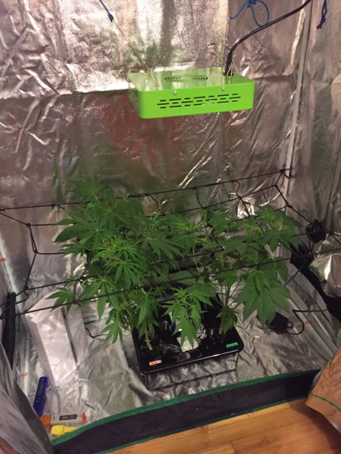 Got a 4 pint dehumidifier today because my humidity is way too high for flowering. Was up in the 70% range. Currently down to 57%. & From Dealzer Grow Box to Home Depot Grow Tent | Grasscity Forums