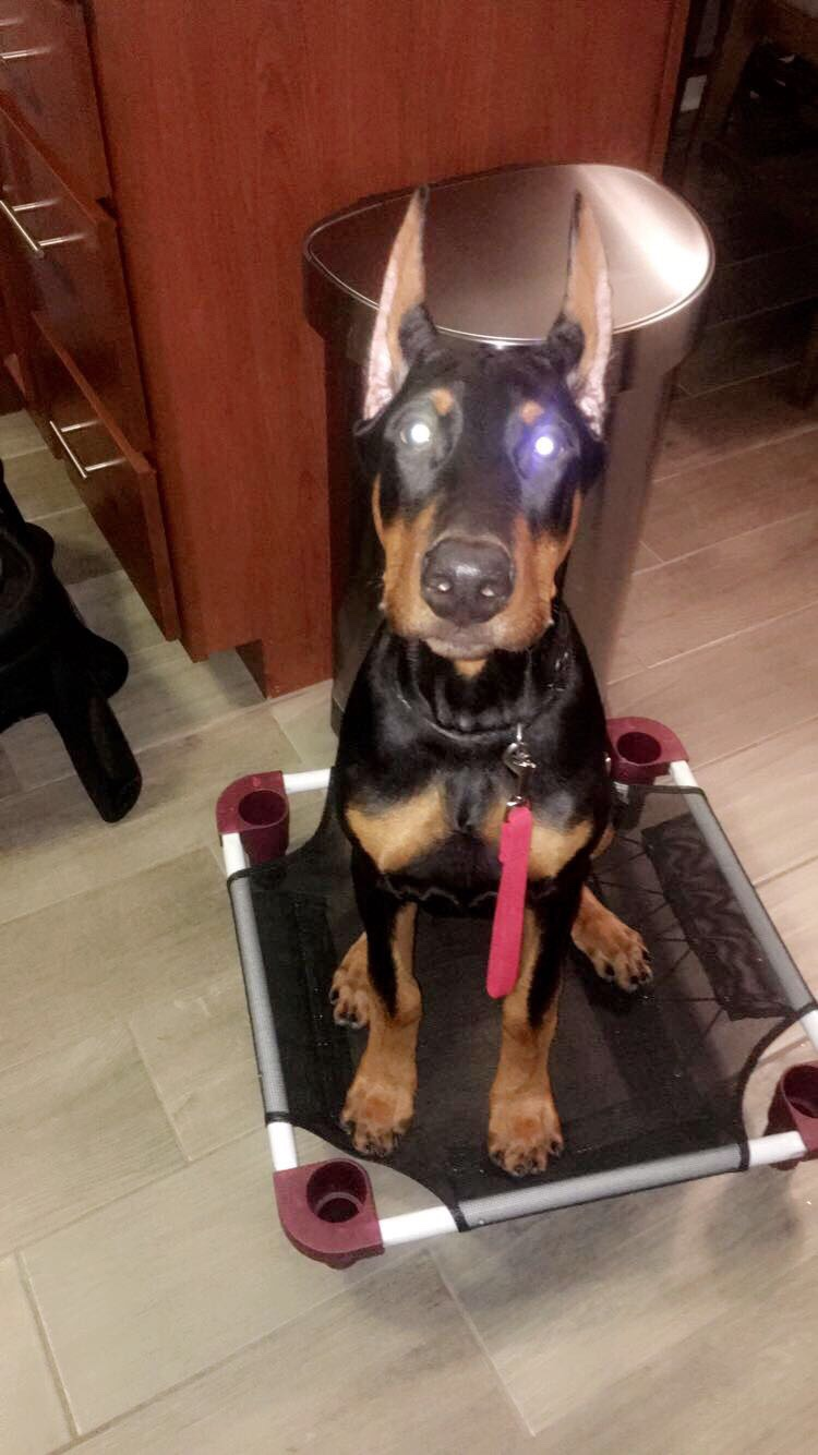 Time for Breathe Right strips? - Doberman Forum : Doberman Breed Dog