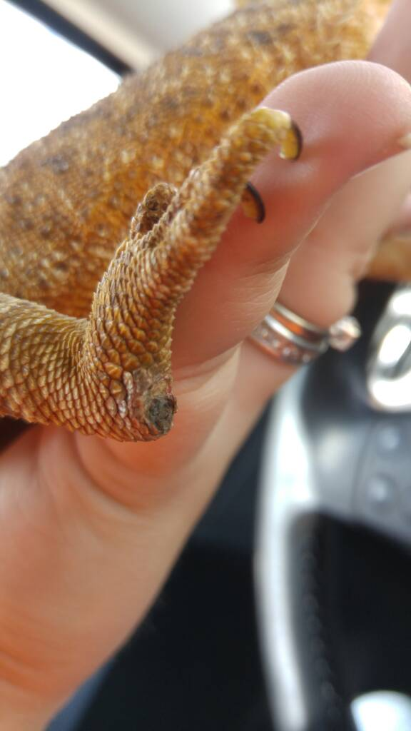 how to get your bearded dragon to lose weight