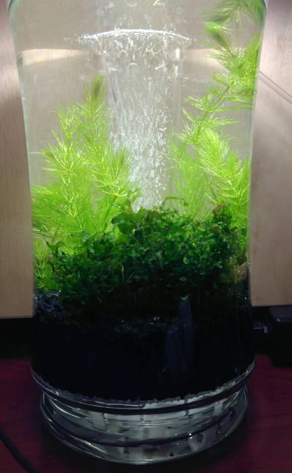 1 Gallon Vase The Planted Tank Forum