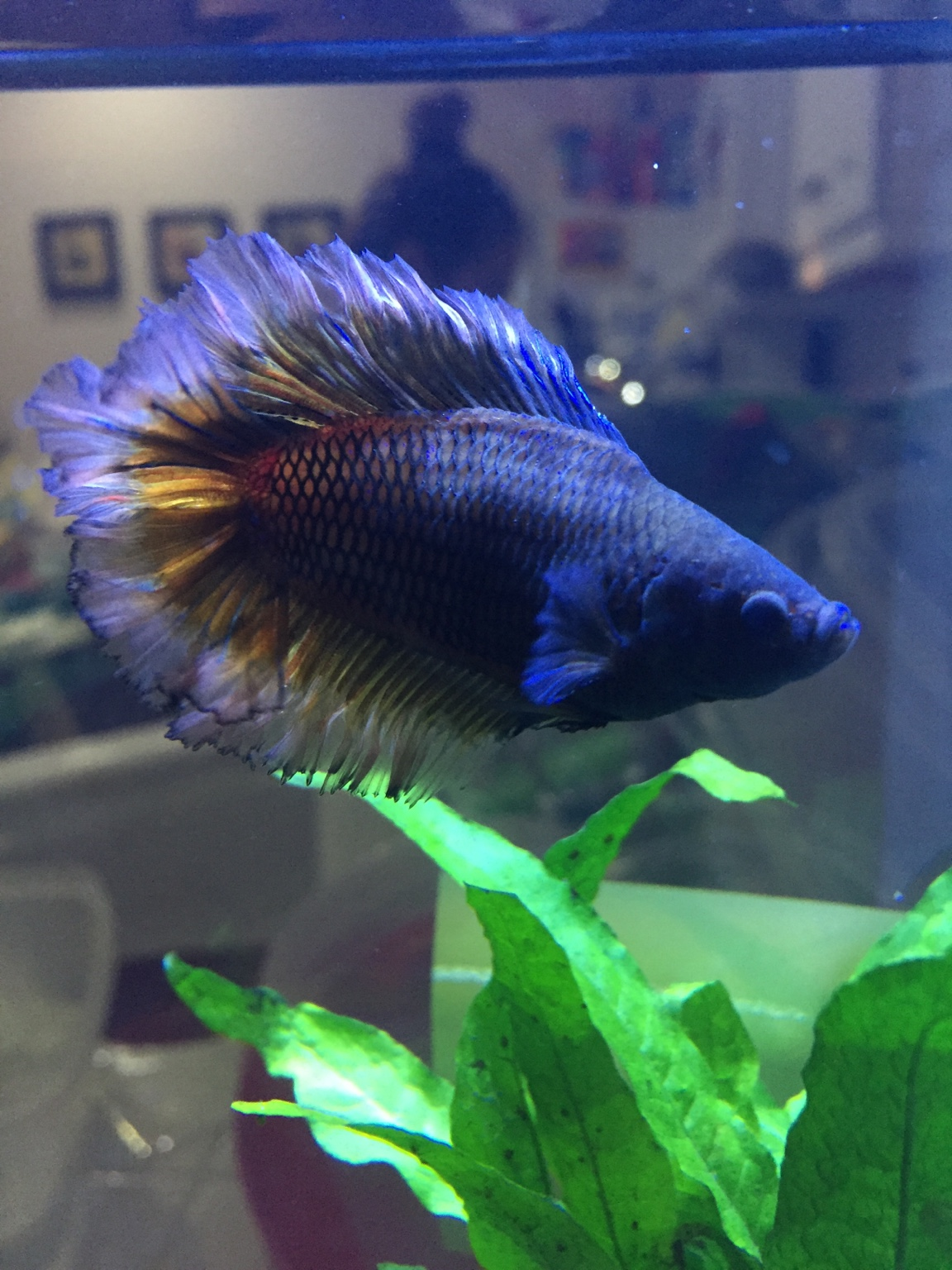 Very fat wide betta fish 262576 for Cholesterol in fish