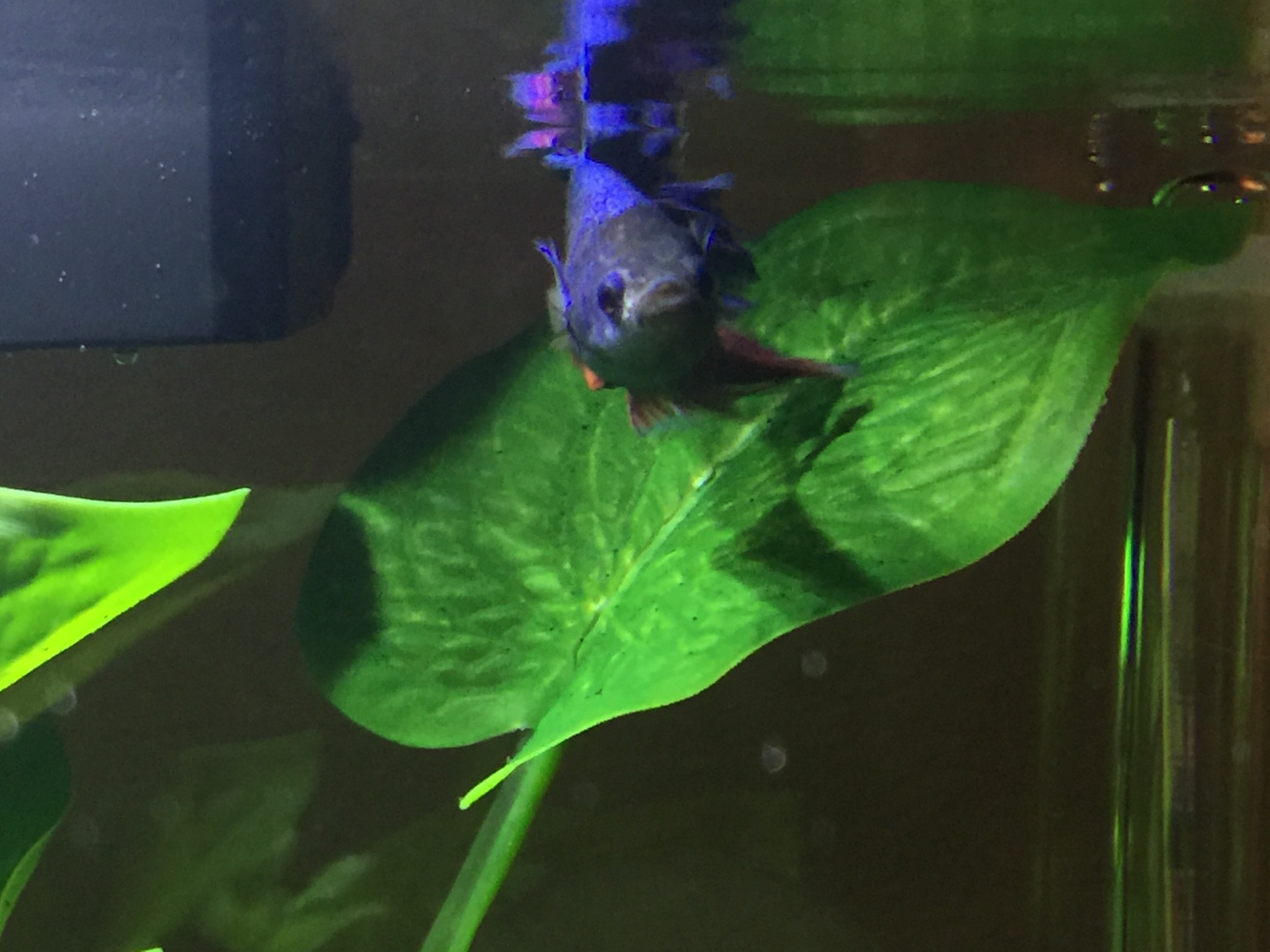 Bloated Fish Resting On Bottom Of Tank Please Help 263358