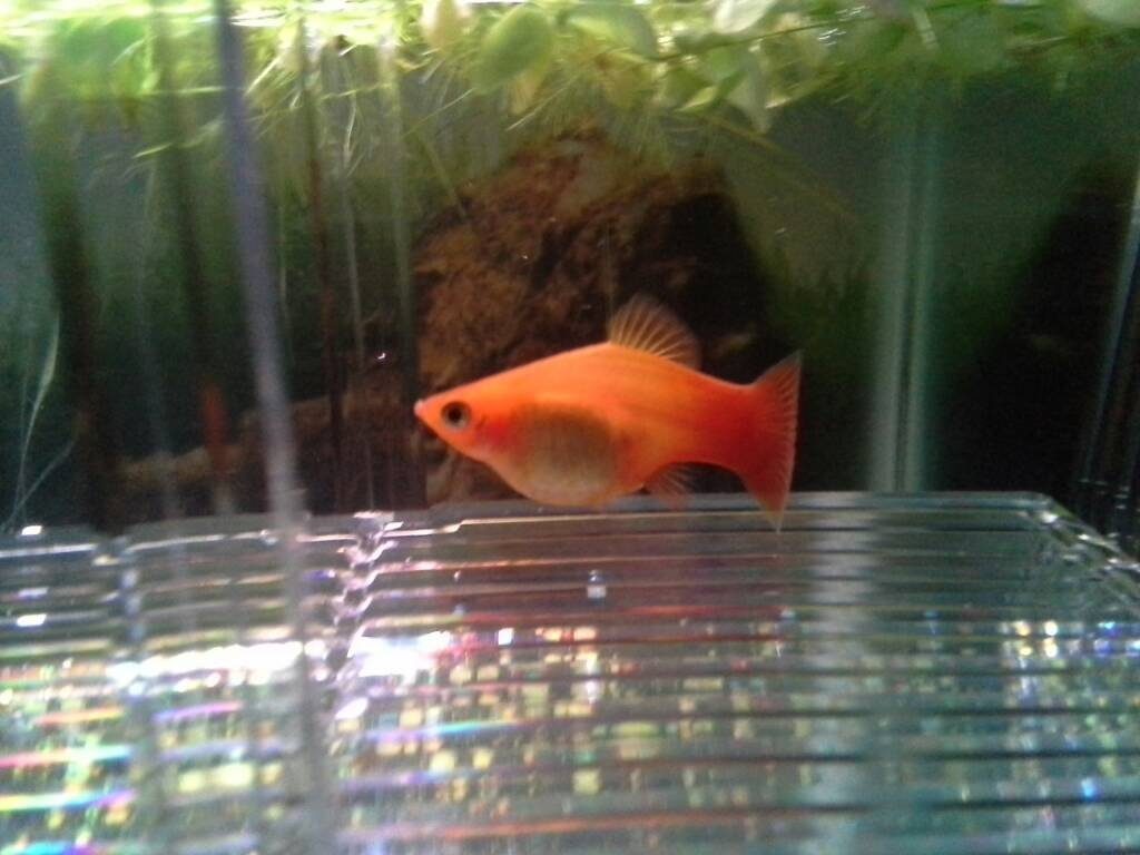 By Photo Congress || Pregnant Platy Fish