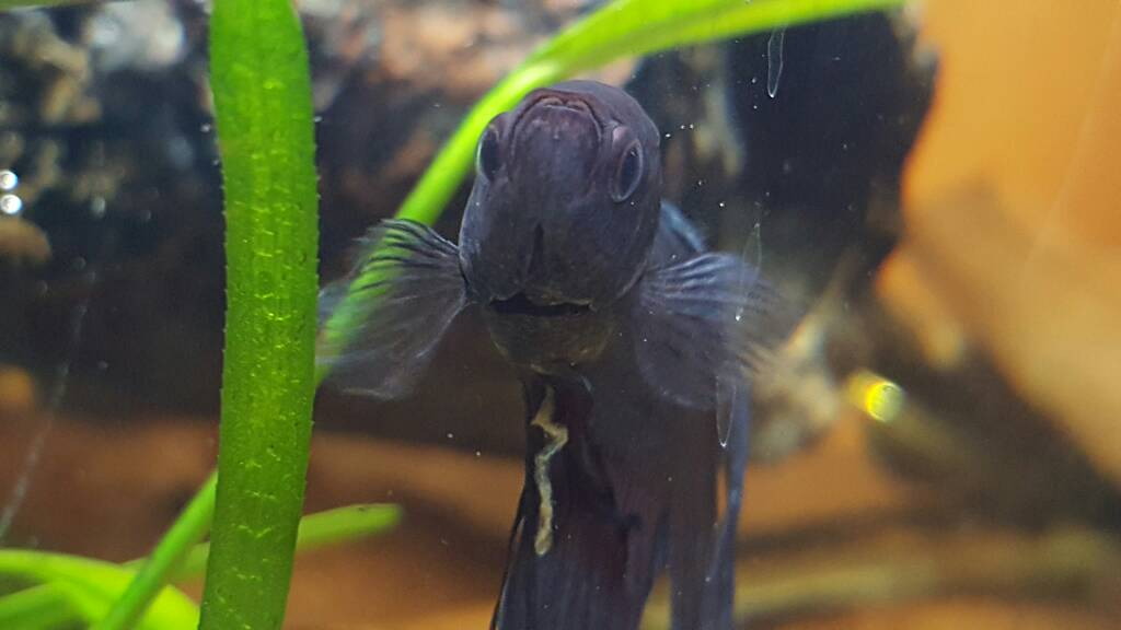 What S Wrong With My Garden Pond Water: Help! What's Wrong With My Betta?