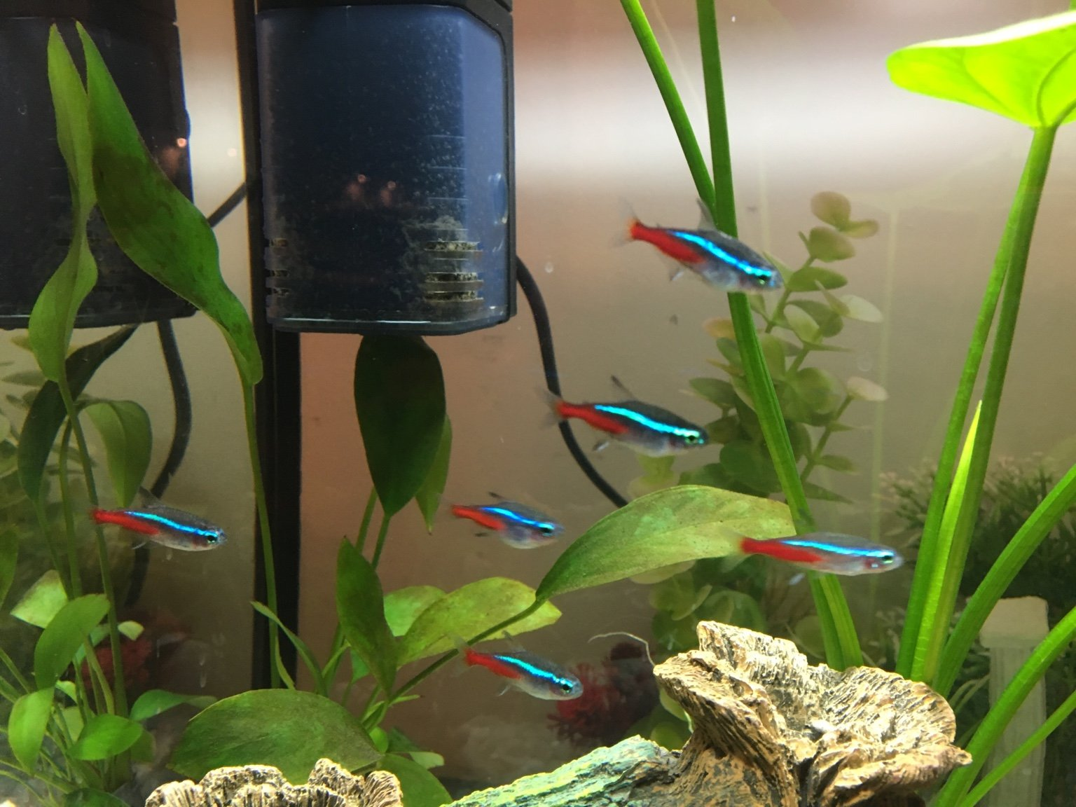 how to tell if neon tetra is pregnant