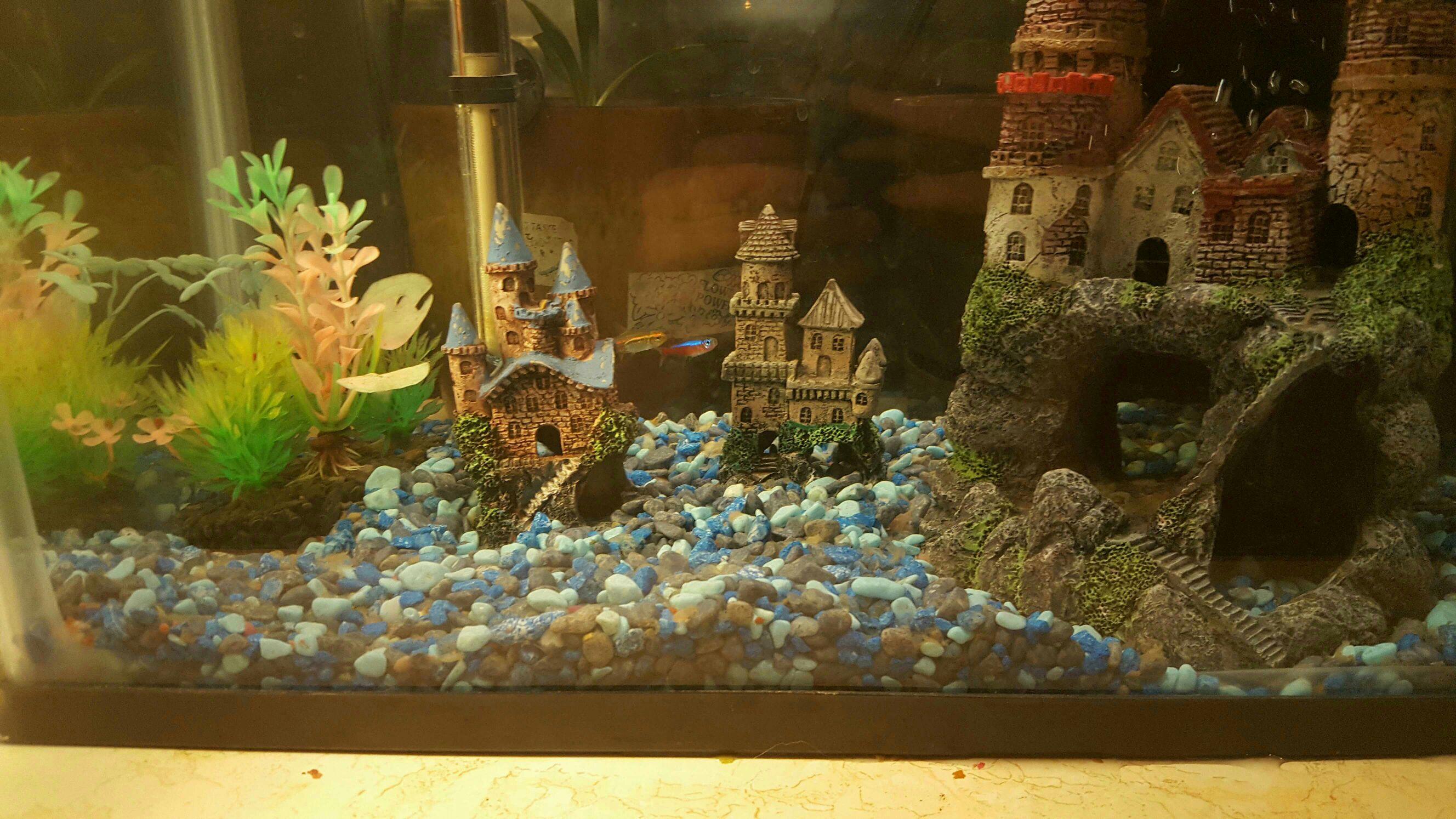 Glow Tetra Biting Male Beta Fins    Freshwater Fish Forums