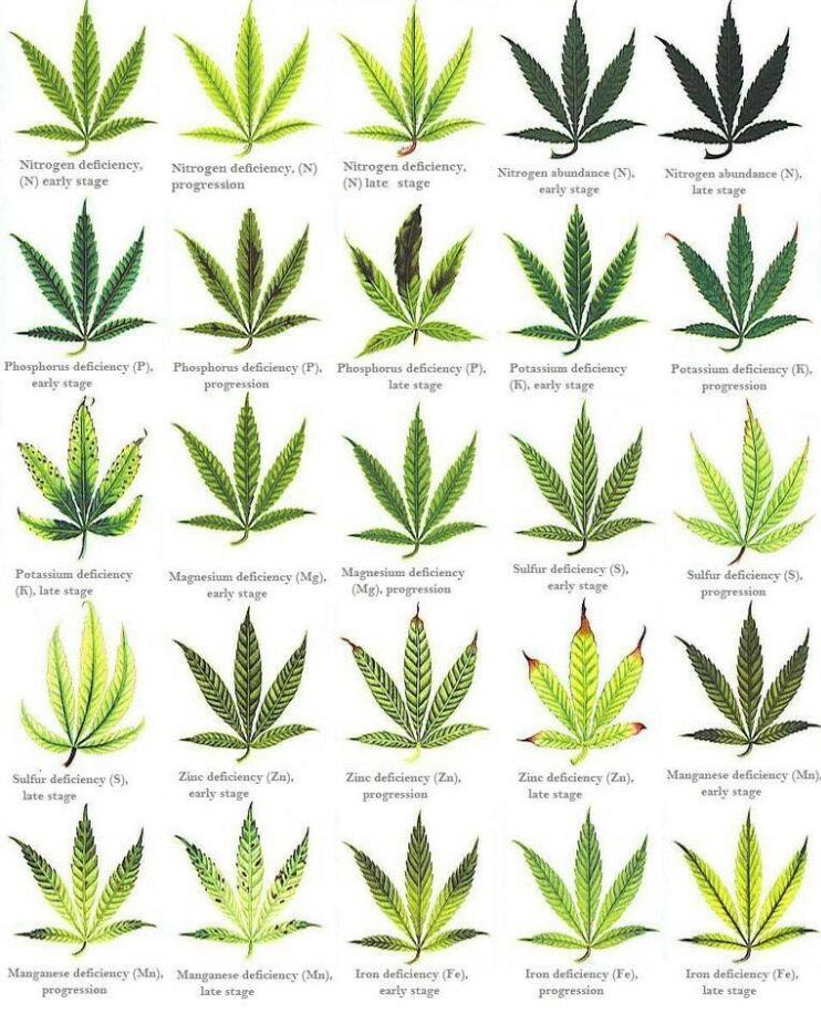 Cal mag or nute burn? | Grasscity Forums - The #1 Marijuana