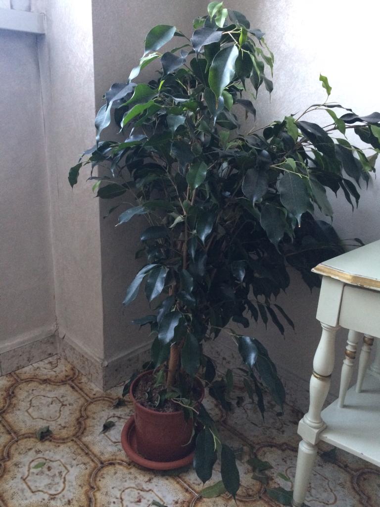 Ficus Benjamin Perde Foglie ficus benjamin nuovo | forum di giardinaggio.it