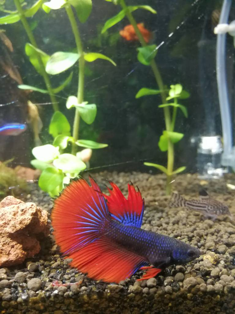 Betta flaring at himself 266288 for Betta fish mirror