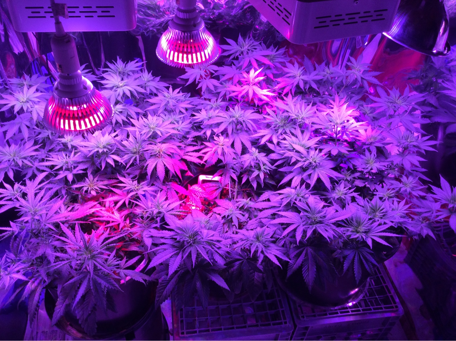 Now I am faced with trying to care for twelve plants in 2 rooms and one tent. Too many plants and not enough lights. But like you said so hard to throw out ... & BluntMeu0027s 1st indoor Mars Hydro LED budget grow grow | Grasscity ...