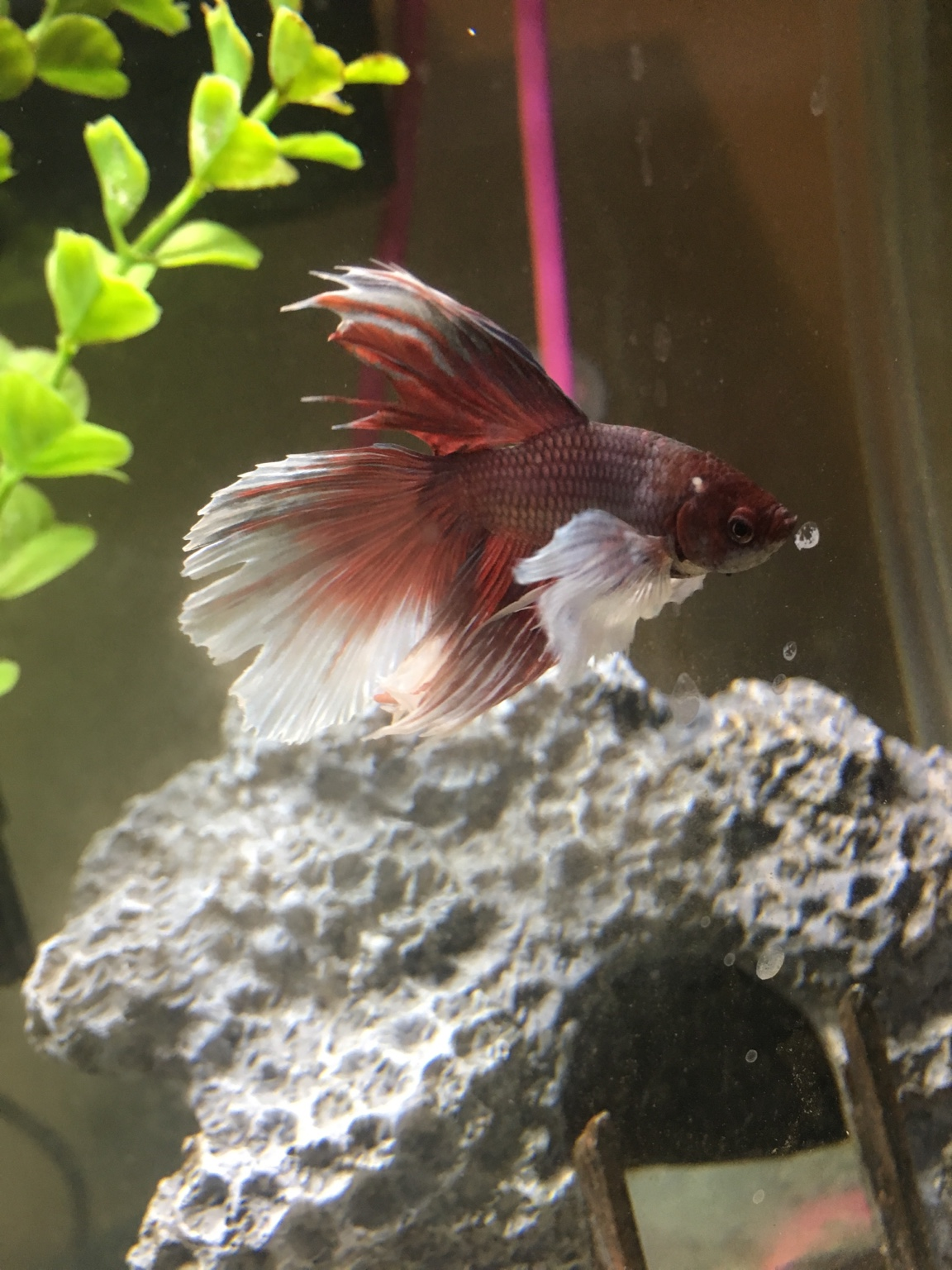 solved) Sick Betta  Done The Research, But Nothing Is Adding