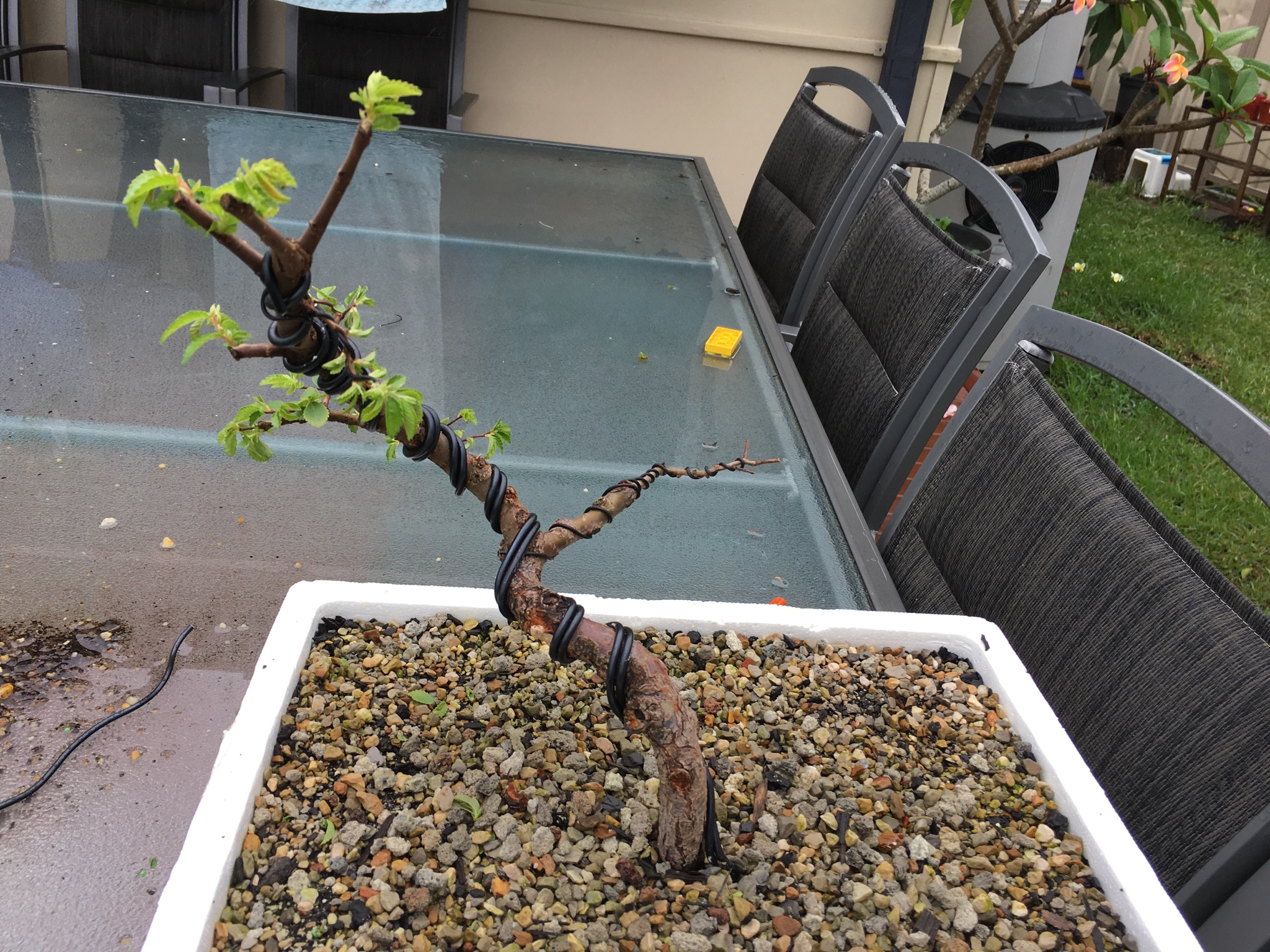 Ausbonsai View Topic Corky Bark Elm Progression From Nursery Stock Wiring In Bonsai Image