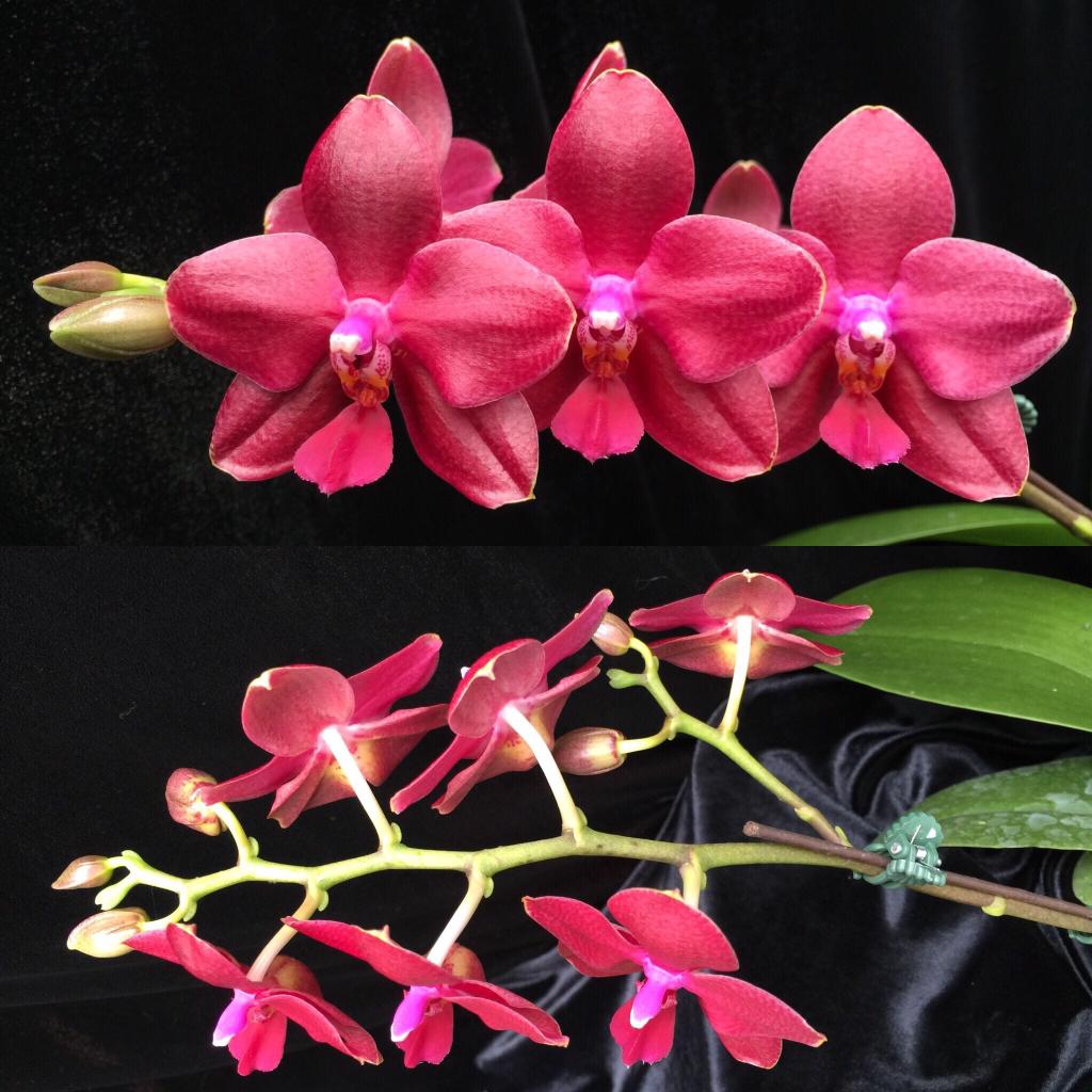 3 New Phalaenopsis Awards Slippertalk Orchid Forum The Best