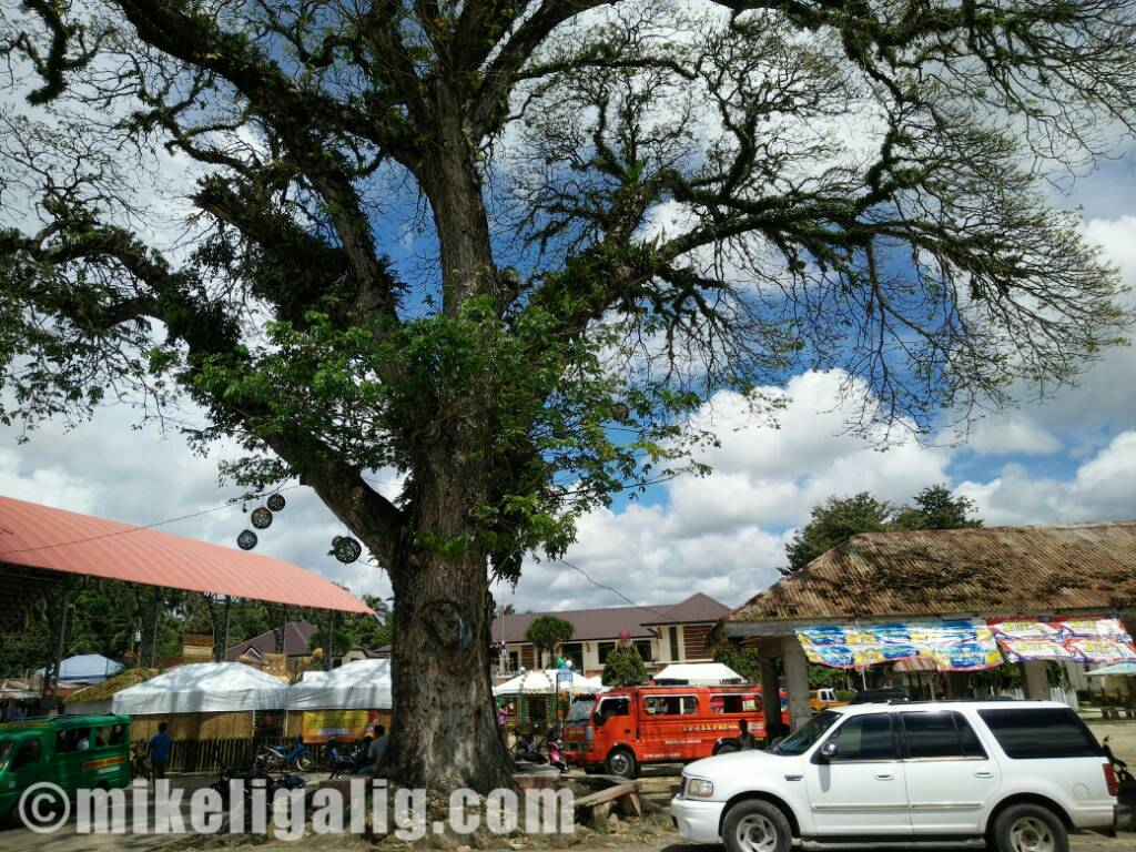 5c6954dc89b8ef19a5fac98c328ef003 - Century-old Tree in Antequera, Bohol - Photos Unlimited