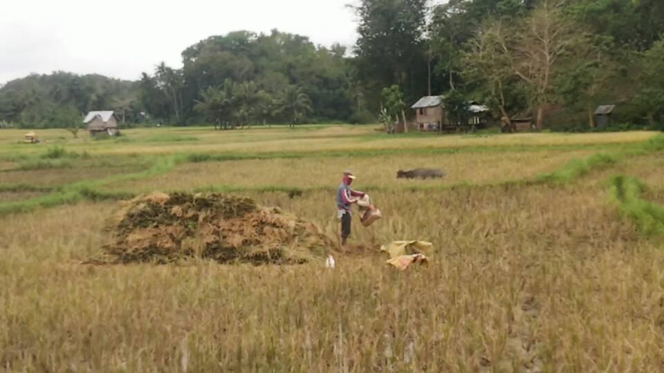 e2188e12cb6d8e50dbffdde03f799a6c - Rice field in Batuan, Bohol - Philippine Photo Gallery
