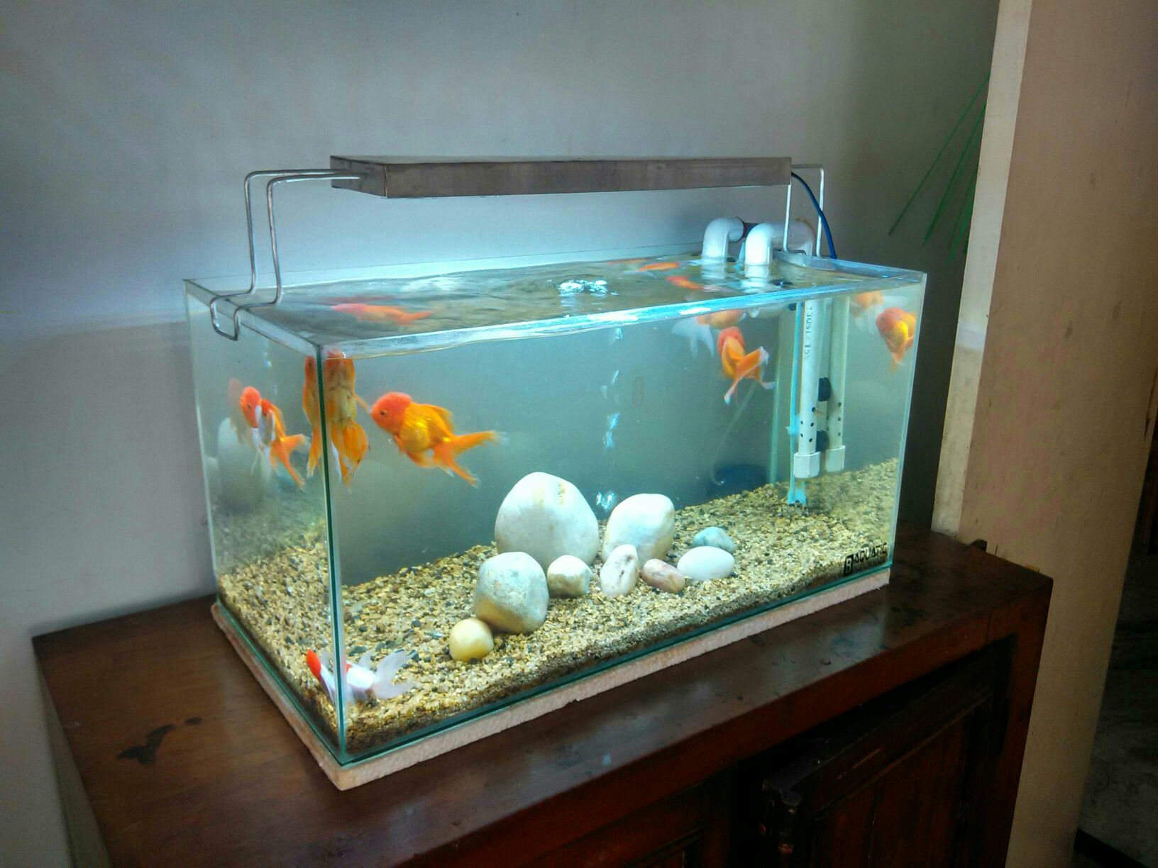 Kolkata aquarium club view topic goldfish tank for Fish tank for goldfish