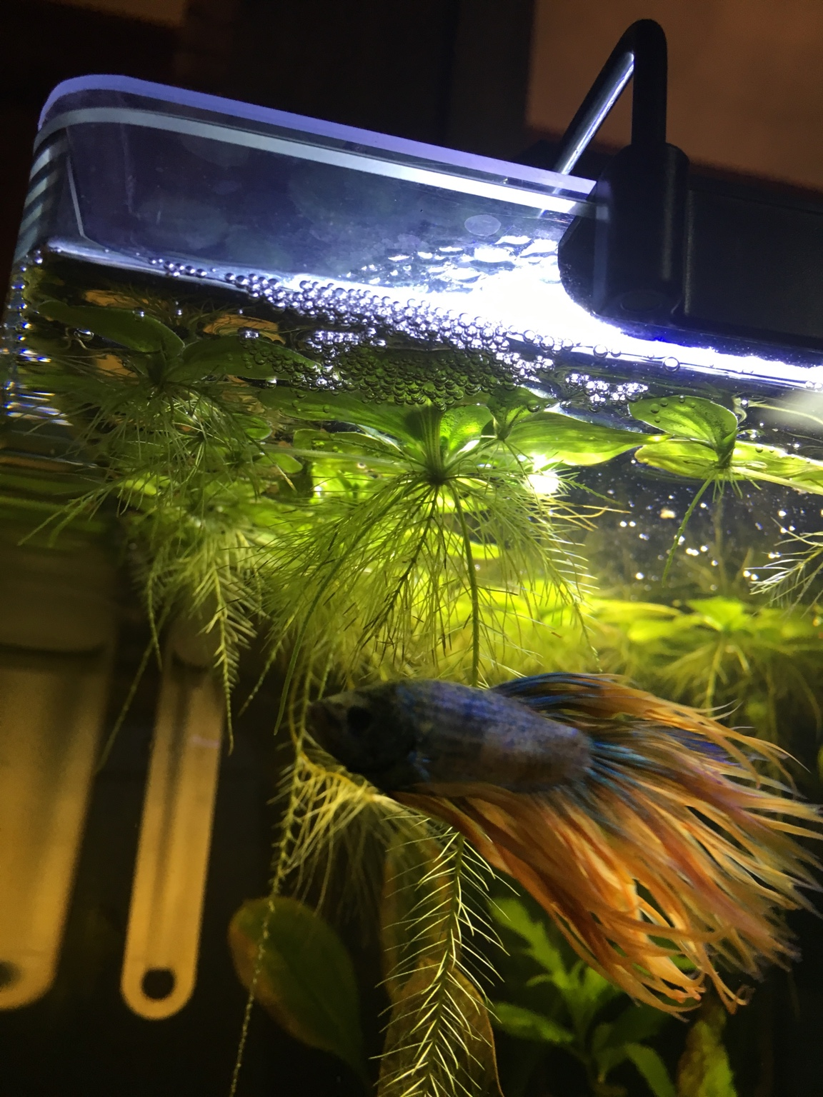 Floating live plants for betta 269207 for Floating plants for betta fish