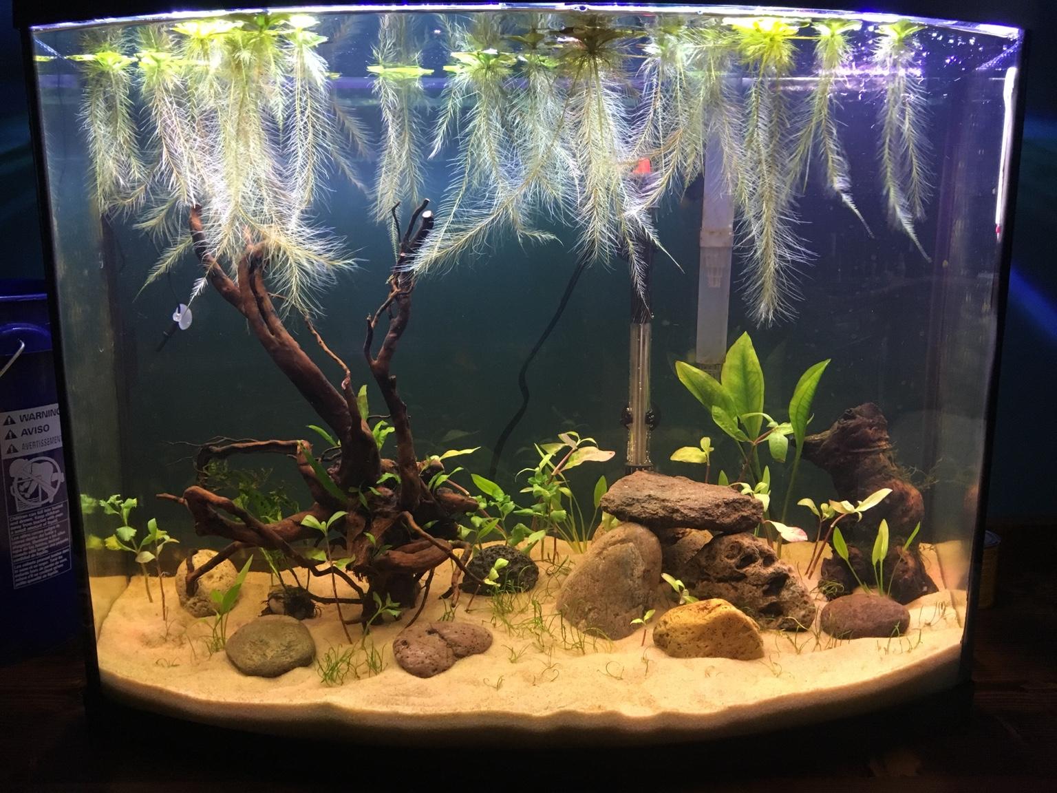 Floating live plants for betta aquarium fish forum 269207 for Betta fish floating
