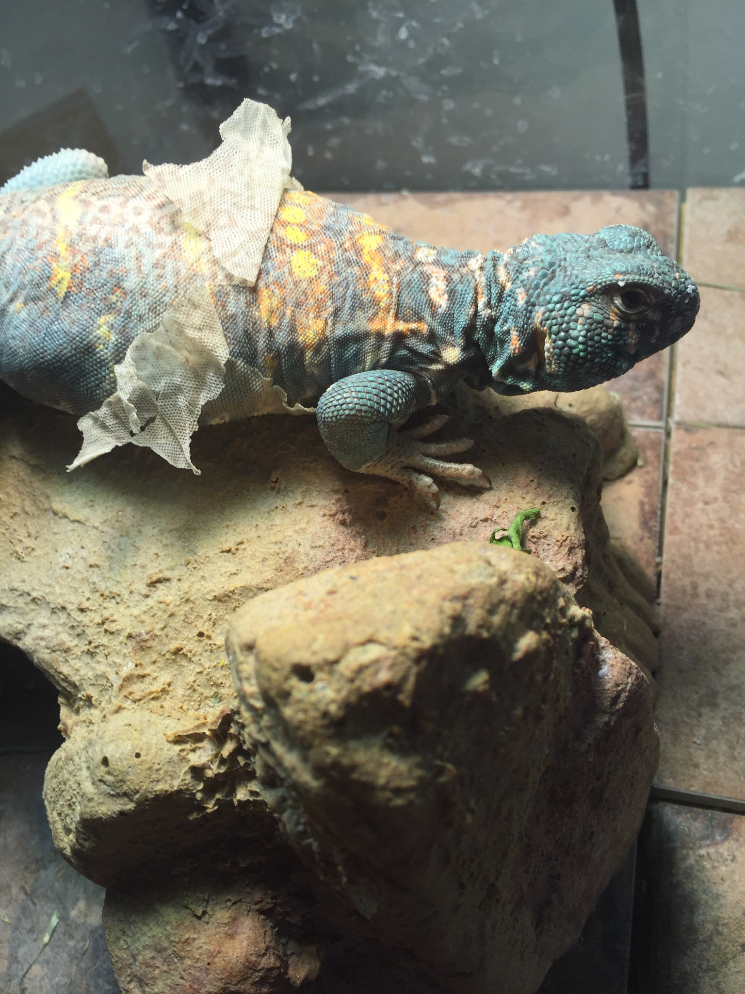 I Have A 25 Year Old 10 Inch Female Ornate Uromastyx For Sale Bought Her Along With Male While Back From Lady Who Said Theyve Been Living