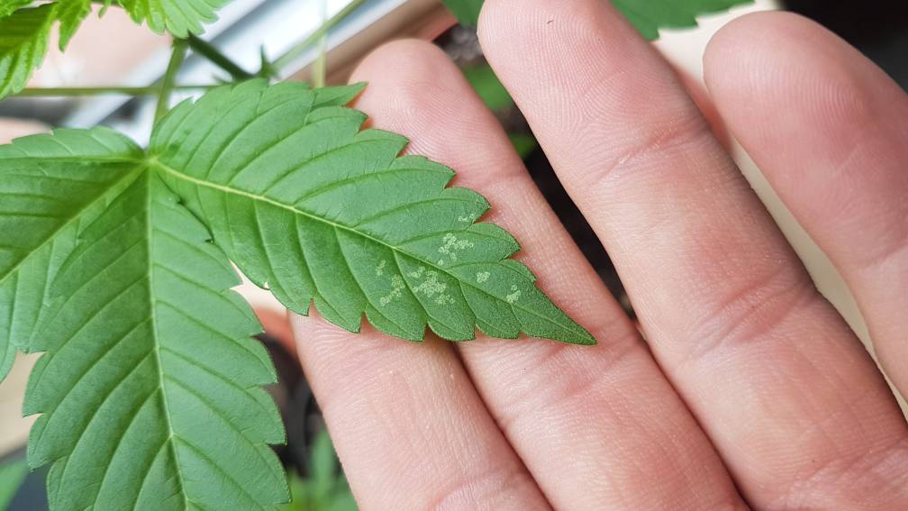 Manchas en la hoja | La Marihuana