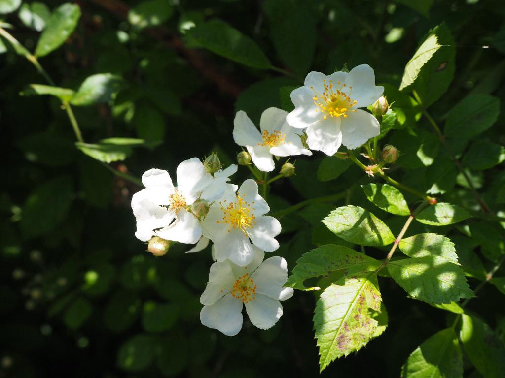 Rose Rampicanti Senza Spine rosa vichuraianaconfermate? - forum giardinaggio