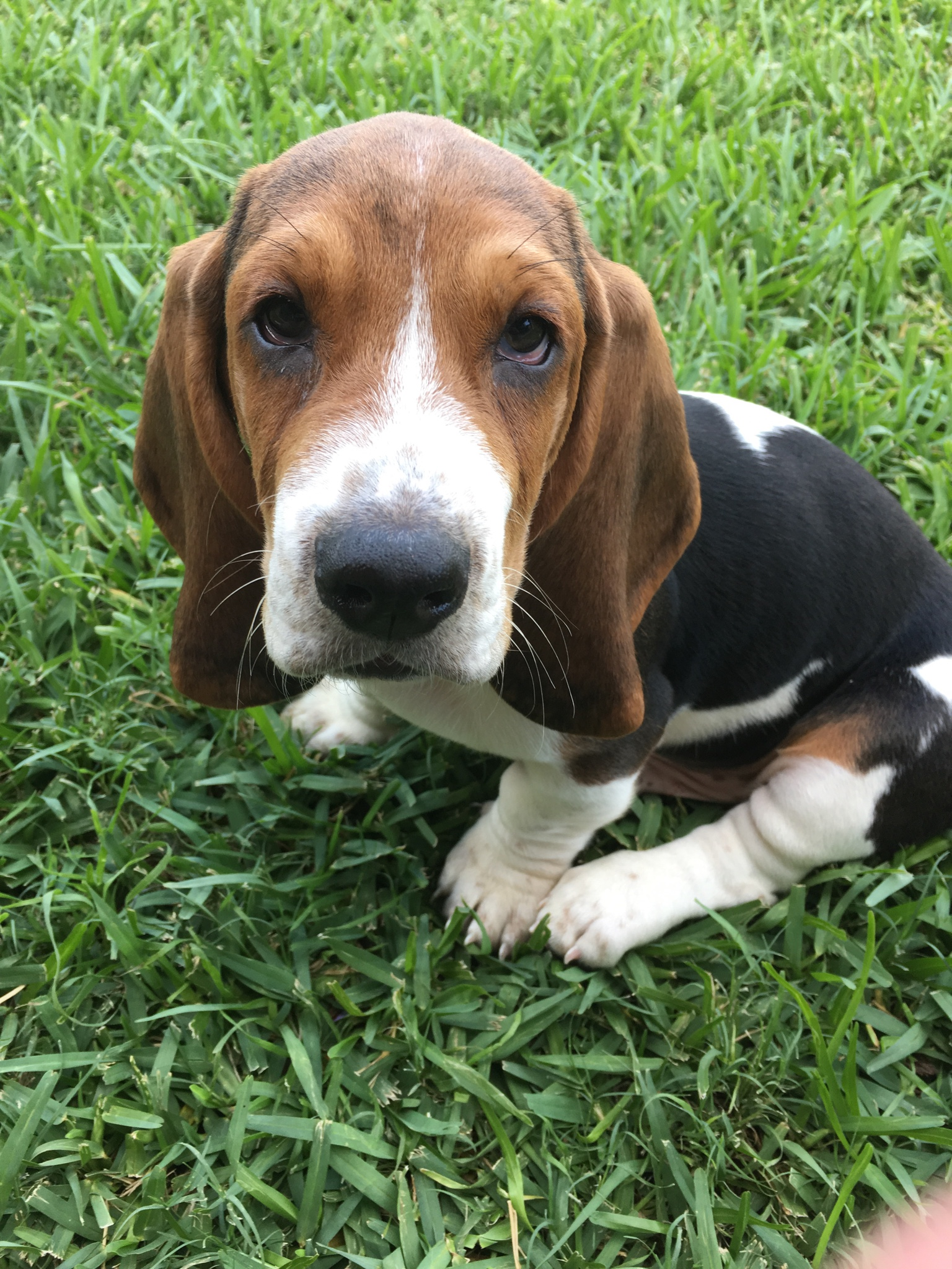 how to train a basset hound puppy not to bite