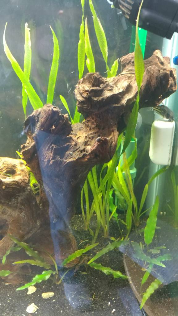 Why is my Valisneria turning brown? - The Planted Tank Forum