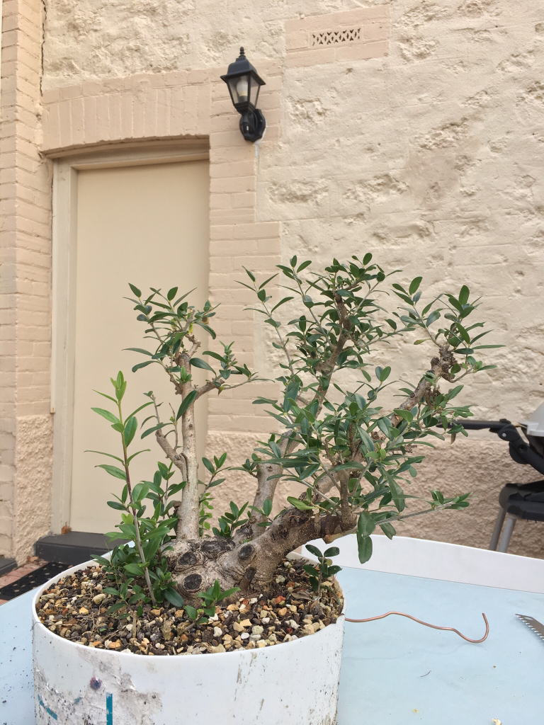 Olive Clump Ausbonsai